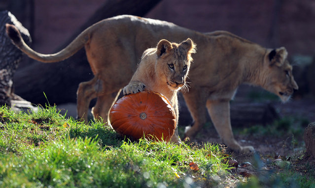 Barbary lion mother Binta sniffs a carved pumpkin with pieces of meat hidden in it with her cubs Zari and Joco (R) at the zoo in Hanover,Germany 27 October 2011. The animals at the zoo are being fed with unusual food to the visitors delight at Halloween time. (Photo by Jochen Lübke/DPA/ZUMAPress)