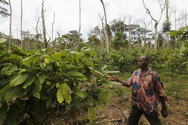 A farmer uses a machete as he works among dead trees and young cocoa plants inside the protected Gouin-Debe forest in Blolequin department, western Ivory Coast August 17, 2015. (Photo by Luc Gnago/Reuters)