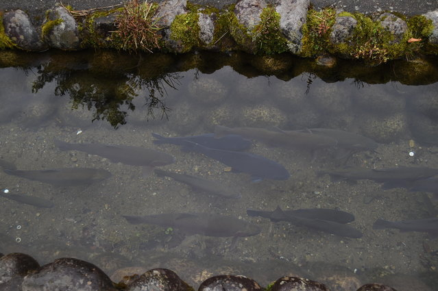 Fishes asideditch at Shirakawa-go, the UNESCO World Heritage site on November 9, 2014 in Shirakawa, Japan. (Photo by Kaz Photography/Getty Images)