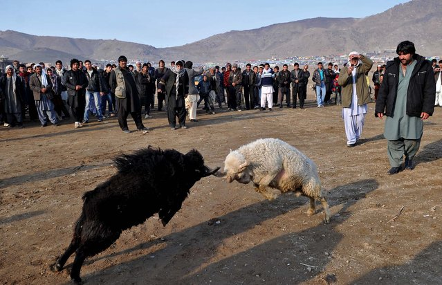 Afghan men watch a ram-fighting game on the outskirts of northern Kabul. The game, as well as dog fighting, camel-fighting and Buzkashi, are part of Afghanistan's social entertainment. (Photo by Massoud Hossaini/AFP Photo)