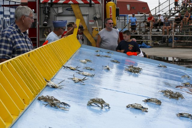 """Crabs """"race"""" for contestants' bragging rights during the annual National Hard Crab Derby in Crisfield, Maryland September 5, 2015. (Photo by Jonathan Ernst/Reuters)"""