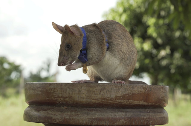 "In this undated photo issued by the PDSA, People's Dispensary for Sick Animals, Cambodian landmine detection rat, Magawa is photographed wearing his PDSA Gold Medal, the animal equivalent of the George Cross, in Siem, Cambodia. A British animal charity has on Friday, September 25, 2020, for the first time awarded its top civilian honor to a rat, recognizing the rodent for his ""lifesaving bravery and devotion"" in searching out unexploded landmines in Cambodia. (Photo by PDSA via AP Photo)"