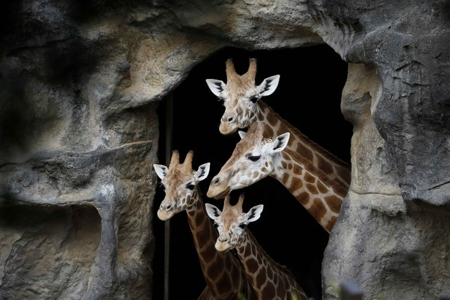 A family of giraffes look out from their enclosure before taking part in a Christmas-themed feeding session at Sydney's Taronga Park Zoo, December 9, 2014. (Photo by Jason Reed/Reuters)