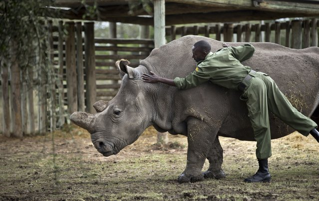 In this photo taken Monday, December 1, 2014, keeper Mohamed Doyo leans over to pat female northern white rhino Najin in her pen where she is being kept for observation at the Ol Pejeta Conservancy in Kenya. (Photo by Ben Curtis/AP Photo)