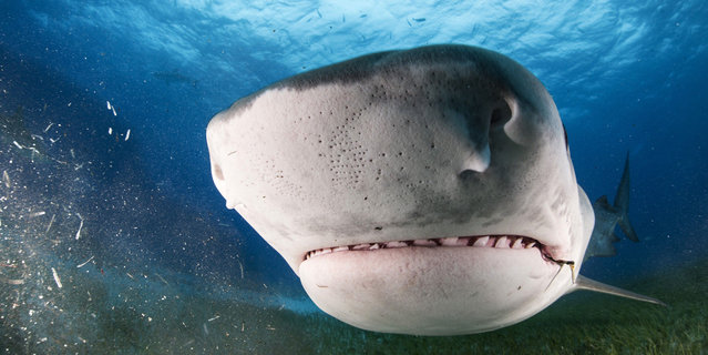 The shark with tiny black dots that its uses to feel objects, these are known as the ampullae of Lorenzini. (Photo by Adam Hanlon/Caters News)