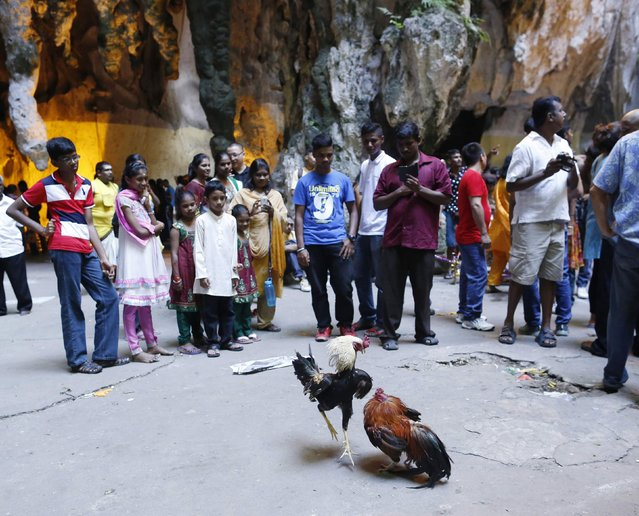 Hindu devotees watch a cock fight in the Batu Caves temple during Thaipusam in Kuala Lumpur February 3, 2015. (Photo by Olivia Harris/Reuters)