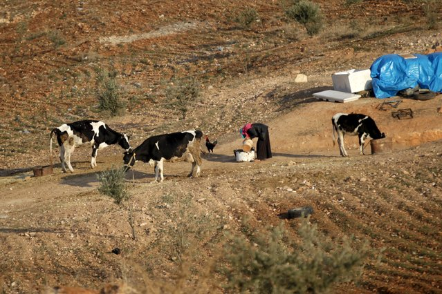 An internally displaced Syrian woman cares for cows outside her makeshift shelter that is an underground cave in Om al-Seer, southern Idlib countryside, Syria December 26, 2015. (Photo by Khalil Ashawi/Reuters)
