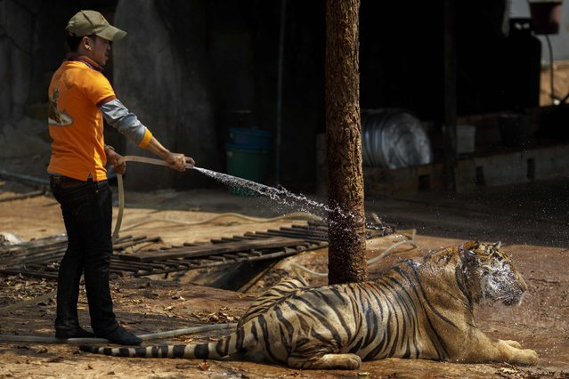 A volunteer sprays a tiger with water at the Wat Pa Luang Ta Bua, otherwise known as the Tiger Temple, in Kanchanaburi province February 12, 2015. (Photo by Athit Perawongmetha/Reuters)
