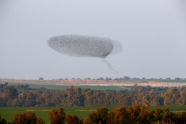 A murmuration of migrating starlings is seen across the sky near the southern Israeli town of Netivot December 31, 2015. (Photo by Amir Cohen/Reuters)