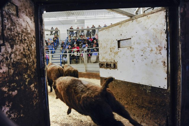 Buffalo run into the livestock arena at the Napoleon Livestock facility during the annual auction in Napoleon, North Dakota, January 9, 2016. Over 145 buffalo heifer and bull calves will be up for auction in the annual event, which is held by the North Dakota Buffalo Association. (Photo by Andrew Cullen/Reuters)