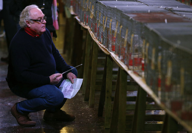 A visitor views pigeons on show during the British Homing World show of the year at Blackpool's Winter Gardens in Blackpool, north west England on January 17, 2016. (Photo by Andrew Yates/Reuters)