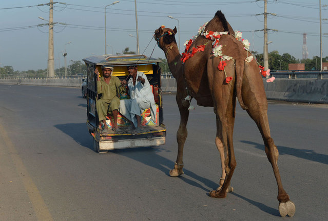 Pakistani men lead a camel as they ride a vehicle after buying the animal from a livestock market in Lahore on October 13, 2013. Eid, is celebrated throughout the Muslim world as a commemoration of Abraham's willingness to sacrifice his son for God, with cows, camels, goats and sheep are traditionally slaughtered on the holiest days. (Photo by Arif Ali/AFP Photo)