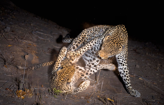 Two leopards fight. (Photo by Brendon Cremer/Caters News)