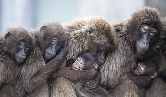 Several female Gelada baboons, also known as bleeding-heart baboons, cuddle with their youngs in order to keep warm at the Wilhelma zoo in Stuttgart, Germany on January 3, 2018. (Photo by Sebastian Gollnow/DPA via AP Photo)