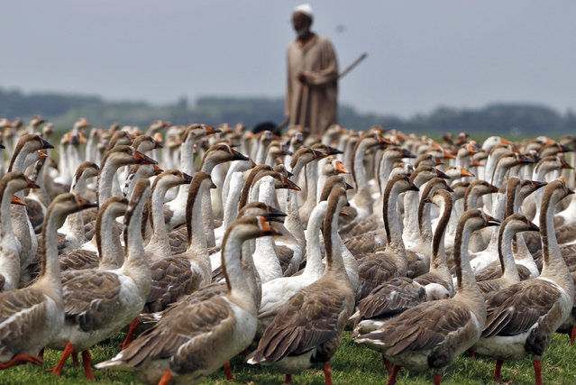 A Kashmiri villager stands next to his geese at a field in Bandipora, north of Srinagar August 13, 2012. (Photo by Danish Ismail/Reuters)