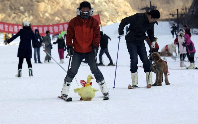 This picture taken on January 12, 2014 shows a yellow duck (C) competing in a skiing competition held for pets and their owners in Sanmenxia, north China's Henan province. (Photo by AFP Photo)