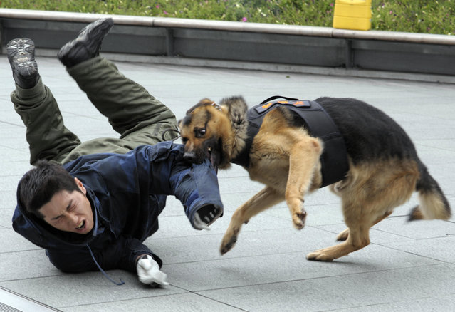 """A police dog bites the arm of a """"suspect"""" during an anti-terrorism practice at the Tokyo shopping and business mall of Roppongi Hills on June 4, 2008. (Photo by Toshifumi Kitamura/AFP Photo)"""