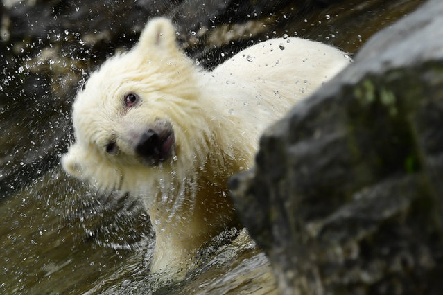 A little polar bear cub plays in the outdoor enclosure of the Tierpark in Berlin, Germany, 15 March 2019. The little yet to be named polar bear walked for the first time in the outdoor enclosure of the Tierpark in Berlin. It was born on 01 December 2018. (Photo by Clemens Bilan/EPA/EFE)