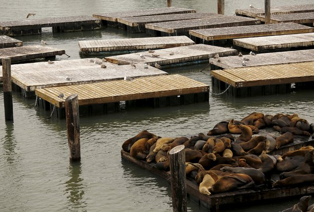 Sea lions gather on a floating dock at Pier 39 in San Francisco, California May 4, 2015. (Photo by Robert Galbraith/Reuters)