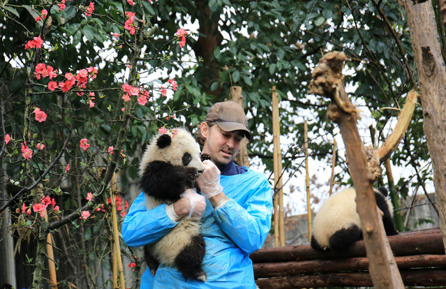"""Actor Lee Pace holds a giant panda baby at Chengdu Research Base of Giant Panda Breeding, as he visits the base and is awarded as the """"Chengdu Pambassador"""" in Chengdu, Sichuan province, China, February 21, 2017. (Photo by Reuters/China Daily)"""
