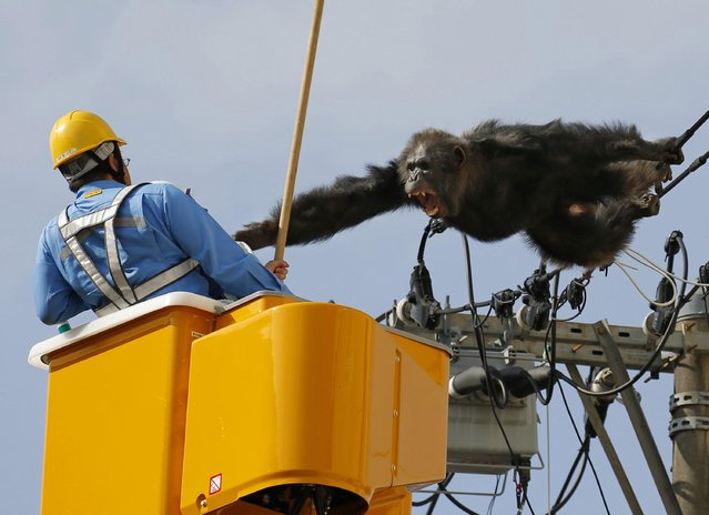 Chacha, the male chimp, screams at a worker in Sendai, northern Japan, Thursday, April 14, 2016 after fleeing from a zoo. The chimpangzee tried desperately to avoid being captured by climbing an electric pole. Chacha was on the loose nearly two hours Thursday after it disappeared from the Yagiyama Zoological Park in Sendai, the city that's hosting finance ministers from the Group of Seven industrialized nations in May. (Photo by Kyodo News via AP Photo)