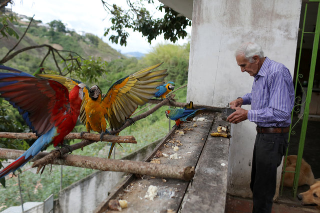 Vittorio Poggi puts food to the macaws at his house outside Caracas, Venezuela, June 18, 2019. (Photo by Manaure Quintero/Reuters)