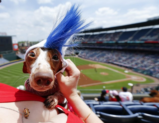 Lilly the dachshund gets an Atlanta Braves mohawk wig from her owner Kara Hesch while attending the Bark in the Park event at the Atlanta Braves host the Cincinnati Reds in MLB baseball game at Turner Field in Atlanta, Georgia, USA, 27 April 2014. (Photo by Erik S. Lesser/EPA)