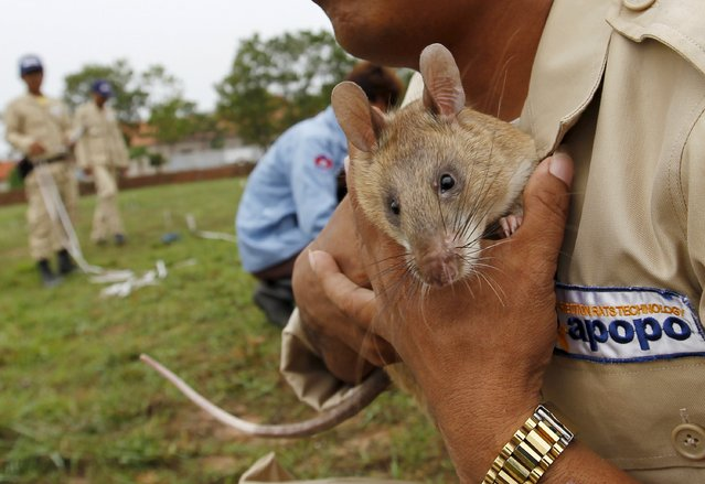 A handler holds a rat undergoing training to detect mines during a training on an inactive landmine field in Siem Reap province July 9, 2015. (Photo by Samrang Pring/Reuters)