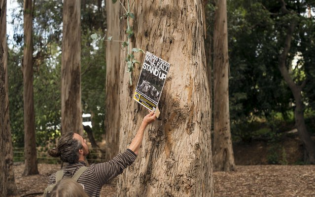 Carl Grether hangs a protest sign while demonstrating against the planned clear cutting of trees outlined in the East Bay Deforestation Plan on the University of California, Berkeley campus, in Berkeley, California July 18, 2015. (Photo by Noah Berger/Reuters)