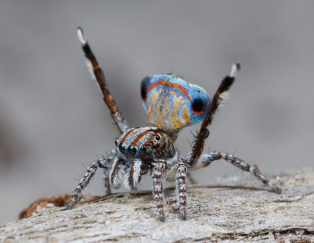 Several new species of peacock spider – just a few millimetres long and featuring extraordinary colours – have been discovered in Western Australia and South Australia. Jürgen Otto, a biologist from Sydney, has been researching the arachnids since 2005, and has gained a significant following online with his footage. He believes there are now 48 confirmed species of peacock spider within the Maratus genus, found across Australia but particularly in Western Australia – and many more awaiting confirmation. Here: Maratus Tasmanicus, one of seven new species of peacock spiders studied by the Sydney biologist Jürgen Otto. (Photo by Jürgen Otto)