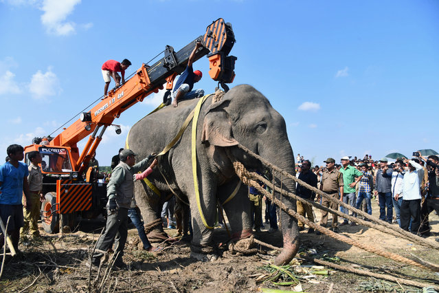 A tranquilized wild Indian elephant that killed five villagers during a 24-hour rampage before being caught is lifted up with a crane as it is transported in Rongjuli forest division in western Assam's Goalpara district on November 12, 2019. An elephant named after the late Al-Qaeda leader Osama bin Laden that killed five Indian villagers has been caught after a massive operation to hunt down the creature, officials said on November 11. (Photo by Biju Boro/AFP Photo)