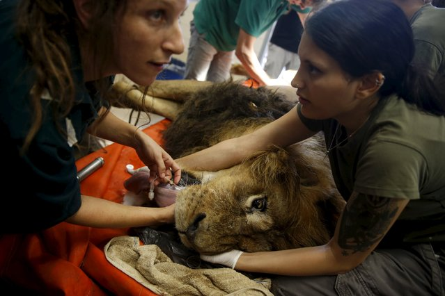 Zoo staff and members of a veterinary team prepare an eight-year-old lion named Samuni for a surgical procedure to remove a tumour from his abdomen at the Ramat Gan Safari Zoo, near Tel Aviv, Israel, July 29, 2015. (Photo by Baz Ratner/Reuters)