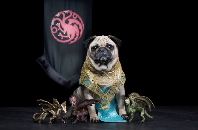 """""""The Pugs of Westeros"""" sees Roxy, Blue and Bono playing doggy versions of the main characters, including conniving King Joffrey. The pugs' owners, Phillip Lauer (57) and his wife Sue (47), have been dressing their pugs up as characters from cinema and TV since they were puppies. They jumped at the chance of creating a picture series based on one of their favourite shows. Sue spent two weeks just creating the Iron Throne alone but it was well worth it. (Photo by Phillip Lauer)"""