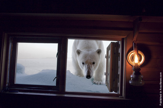 The female polar bear studies human habitation, after the seat broke on a snowmobile, backpack for camera and hat Paul Nickle. It is best not to get in the way of bears, when they are hungry
