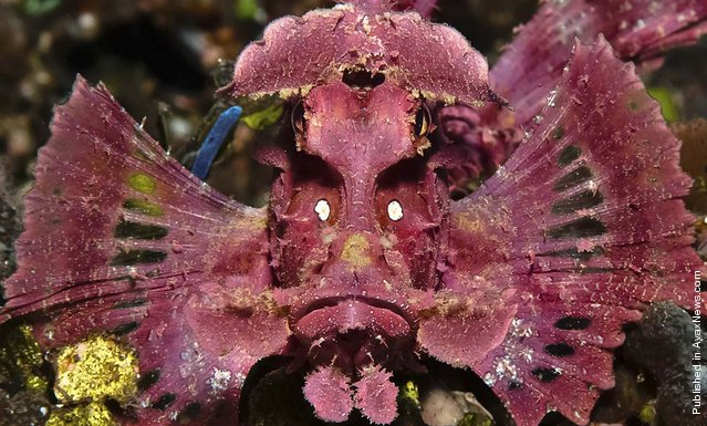 It's a colorful view of a paddle-flap scorpionfish (Rhinopias eschmeyeri), lurking near the Indonesian island of Bali