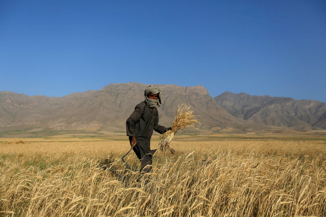 An Afghan man harvests wheat on the outskirts of Kabul, Afghanistan July 11, 2016. (Photo by Mohammad Ismail/Reuters)