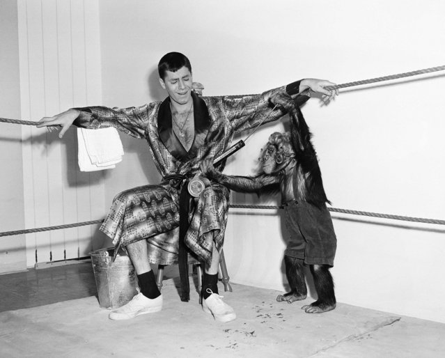 Just to show they're still friends, Gorgeous Pierre, the wrestling chimp, and Jerry Lewis indulge in a bit of monkey-shines after their wrestling match, won by Pierre, in Hollywood on February 20, 1950. (Photo by AP Photo)