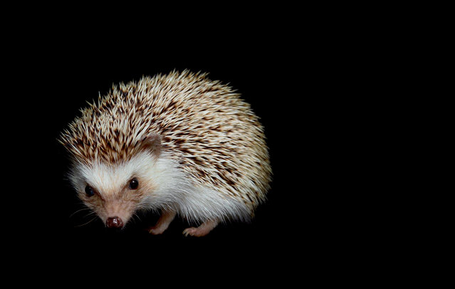 Hedgehogs are extremely vocal. They communicate their preferences and moods using a repertoire of grunts, chirps, hisses and squeals. When truly threatened, a hedgehog's primary defense is to roll up into a tight ball with all of its spines facing outward. Hedgehogs are nocturnal because most of the tiny animals they feed on are nocturnal as well. (Photo by Traer Scott/Chronicle Books)