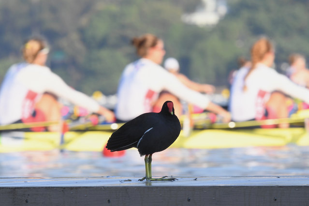 A bird looks on as competitors warm up during the rowing on Day 1 of the Rio 2016 Olympic Games at the Lagoa Stadium on August 6, 2016 in Rio de Janeiro, Brazil. (Photo by Matthias Hangst/Getty Images)