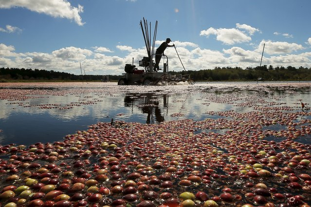 Nick Johnson harvests cranberries in a bog at Gilmore Cranberry Company in Carver, Massachusetts September 14, 2015, the beginning of the cranberry harvesting season. (Photo by Brian Snyder/Reuters)