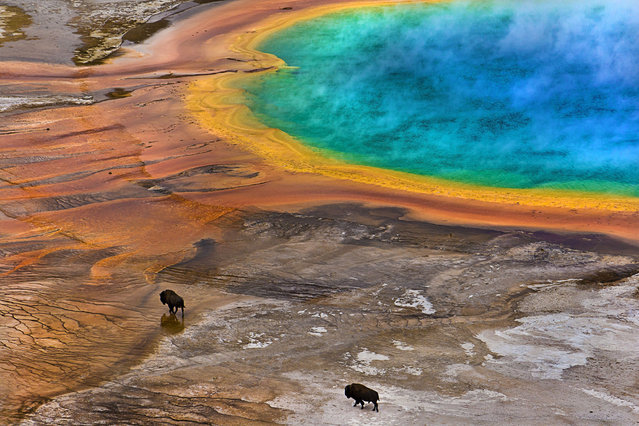 """Undated handout photo issued by the Society of Biology of """"Bisons on Grand Prismatic Spring'"""" by Lukas Gawenda, which has been shortlisted for the Society of Biology's Photography Award. Issue date: Friday September 26, 2014. (Photo by Lukas Gawenda/Society of Biology/PA Wire)"""