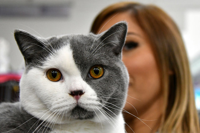 """A woman shows a British Shorthair cat named Cartier during the """"SuperCat Show 2017"""" on November 11, 2017 in Rome, Italy. (Photo by Alberto Pizzoli/AFP Photo)"""