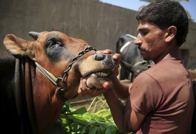 """A livestock vendor shows the mouth of a cow for customers at an old cattle market named """"Al Emam Market"""" ahead of the Muslim sacrificial festival Eid al-Adha in Cairo, Egypt, September 19, 2015. (Photo by Amr Abdallah Dalsh/Reuters)"""