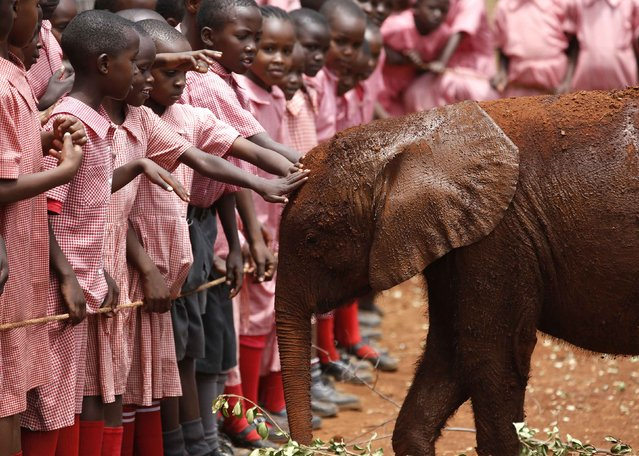 Pupils touch an orphaned baby elephant at the David Sheldrick Elephant Orphanage within the Nairobi National Park, near Kenya's capital Nairobi October 15, 2014. (Photo by Goran Tomasevic/Reuters)