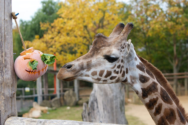 """Giraffes get their teeth into some tasty treats this halloween with a breakfast of pumpkins at ZSL London Zoo, on October 24, 2014. London Zoo is celebrating """"Boo at the Zoo"""" during the October half-term. (Photo by Johnathan Adam Davies/National News/ZUMAPress)"""