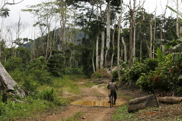 A farmer rides his bicycle among dead trees and and young cocaa plants (R) inside the  protected Gouin-Debe forest in Blolequin department, western Ivory Coast August 17, 2015. (Photo by Luc Gnago/Reuters)