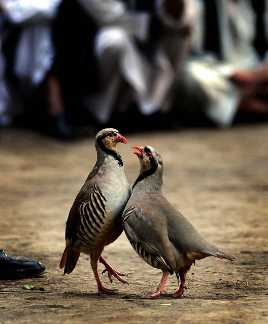 Partridges fight at a park in Kabul. Partridge-fighting, a popular game amongst Afghans which was banned during the Taliban together with other sports such as dog fighting, is enjoying a resurgence among the population. (Photo by Yuri Cortez/AFP Photo)