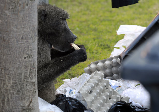 A baboon, named Kataza by locals, eats from discarded waste from stores in Tokai, Cape Town, South Africa, Thursday, September 17, 2020. Kataza was relocated from Kommetjie, on the edges of Cape Town, to a nearby area late last month after city authorities claimed he was responsible for leading other baboons in his troop on raids through the village. One activist says Kataza is now wandering alone in an unfamiliar area and sleeping in a prison yard. (Photo by Nardus Engelbrecht/AP Photo)