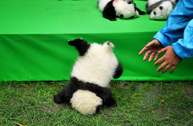 The cute baby panda slipped while being shown off during their first public appearance at the Chengdu Research Base of Giant Panda Breeding in southwestern China's Sichuan province on September 29, 2016. (Photo by Rex Features)