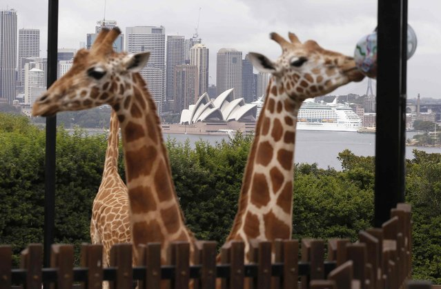 Giraffes in front of Sydney's Opera House during a Christmas-themed feeding session of treats at Sydney's Taronga Park Zoo, December 9, 2014. (Photo by Jason Reed/Reuters)